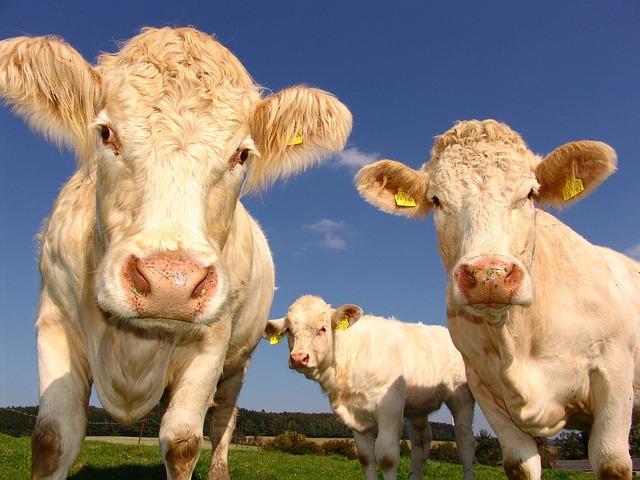 кравеферма крави